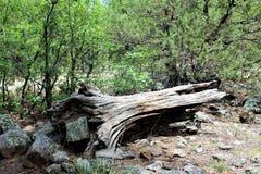 Centro bianco della natura della montagna, Pinetop Lakeside, Arizona, Stati Uniti fotografie stock libere da diritti
