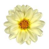 Centro blanco del amarillo de la flor de la dalia aislado Imagenes de archivo