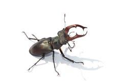 Centro blanco del escarabajo de macho Imágenes de archivo libres de regalías