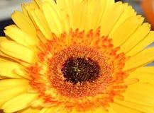 Centro da margarida amarela do Gerbera fotos de stock royalty free