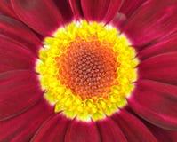 Centro da obscuridade - flor vermelha do Gerbera Imagem de Stock Royalty Free