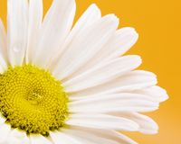 Centro de Daisy Flower With Rain Drops Imagenes de archivo