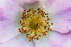 Centro de la flor color de rosa del perro Imágenes de archivo libres de regalías