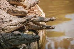 Centro de la piscina del cocodrilo del cocodrilo de Chongqing Foto de archivo libre de regalías