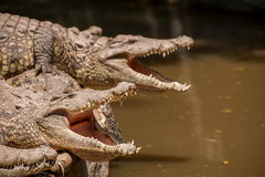 Centro de la piscina del cocodrilo del cocodrilo de Chongqing Fotos de archivo libres de regalías