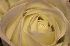 Centro de la rosa del blanco en la floración Imagen de archivo