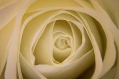 Centro de la rosa del blanco en la floración Foto de archivo