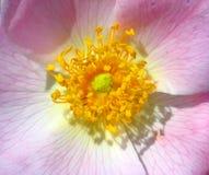 Centro de Rose foto de archivo