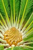 Centro de um palmtree Fotografia de Stock Royalty Free