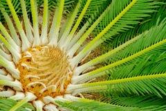Centro de um Palmtree Fotos de Stock Royalty Free