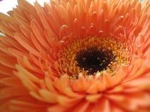Centro de uma flor fotografia de stock