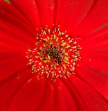 Centro de una flor roja Foto de archivo