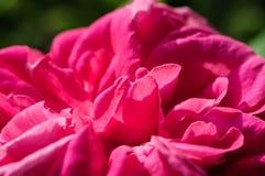 Centro de una Rose Imagenes de archivo