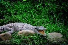 Centro del cocodrilo de Chongqing del cocodrilo Fotos de archivo libres de regalías
