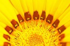 Centro del fiore di zinnia Fotografie Stock Libere da Diritti