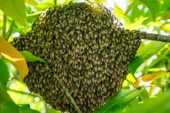 Centro del foco de la jerarquía de las abejas de la miel Fotos de archivo