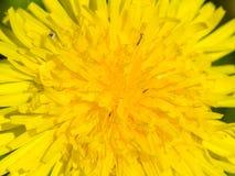Centro del primer amarillo del officinale del Taraxacum del diente de león común de la flor, bordes suaves, foco selectivo, DOF b Fotos de archivo libres de regalías