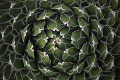 Centro del reticolo del cerchio di un cactus succulente Fotografie Stock Libere da Diritti