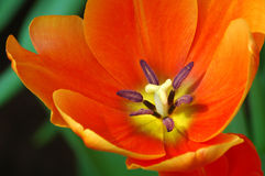 Centro del tulipán Imagen de archivo libre de regalías