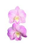 Centro dell'orchidea Immagine Stock Libera da Diritti