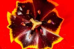 Centro di rosso del tulipano Fotografia Stock Libera da Diritti