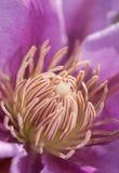 Centro di un fiore della clematide Fotografia Stock Libera da Diritti