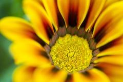 Centro di un Gazania (Asteraceae) Immagine Stock