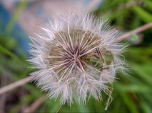 Centro falso de la pelusa de la semilla del diente de león foto de archivo
