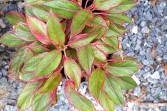 Centro (fuoco selezionato) della pianta di aglaonema (sempreverde cinese) Fotografia Stock