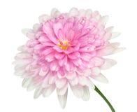 Centro grande rosado de Dahlia Flower aislado en blanco Imagen de archivo libre de regalías