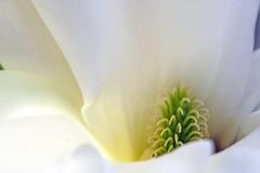 Cierre de la flor de la magnolia para arriba fotografía de archivo libre de regalías