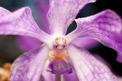 Centro porpora dell'orchidea Fotografia Stock Libera da Diritti