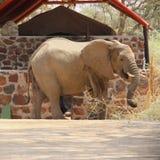 Centro turístico de lujo de la tienda del elefante del desierto, Namibia Foto de archivo libre de regalías