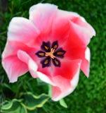 Centro variopinto di un tulipano rosa Fotografie Stock Libere da Diritti