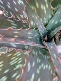 Centro verde appuntito della pianta dell'aloe Fotografia Stock