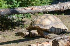 Centrochelys Sulcata非洲被激励的草龟 免版税库存图片