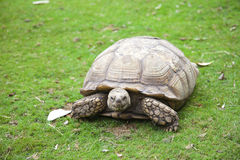 Centrochelys sulcata turtle in grass Royalty Free Stock Photography