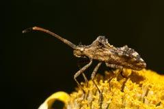 Centrocoris variegatus insect Stock Image