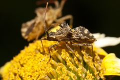 Centrocoris variegatus insect. Close up view of a Centrocoris variegatus insect Stock Images