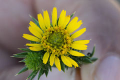 Centromadia pungens, Common spikeweed, Common tarweed Royalty Free Stock Images
