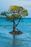 Centrowany Odludny Namorzynowy Drzewo Zakorzenia Ocean zdjęcie royalty free