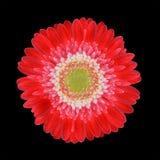 centrum kwiatu gerbera głowy odosobniony czerwony biel obrazy stock