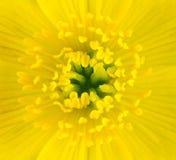 centrum kwiatu makro- nagietka bagna kolor żółty zdjęcia royalty free