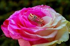 centrum menchii róża z wodnymi kroplami zdjęcie stock