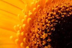 Centrum piękny kwiatu gerbera zbliżenie Obraz Royalty Free