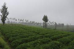 Centrum van wortel plantaardige aanplantingen, royalty-vrije stock foto's