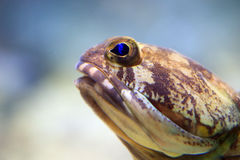 Centu jawfish Obraz Stock