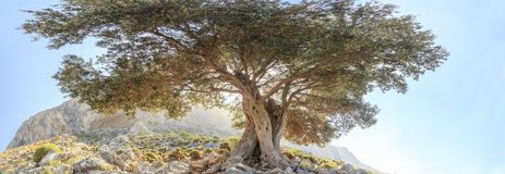 Centuries old evergreen olive tree panoramic view. Centuries old evergreen olive tree at panoramic view Royalty Free Stock Image