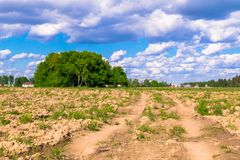 Sunny landscape of the countryside in the beginning of summer. Numerous weeds and recently laid bumpy path across the plowed field. Centuries-old oak grove on Royalty Free Stock Image