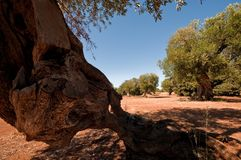 Centuries old olive trees Royalty Free Stock Image